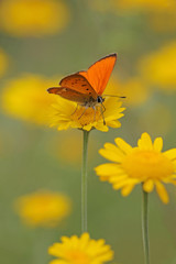 red butterfly Scarce Copper , Lycaena virgaureae - vertical photo
