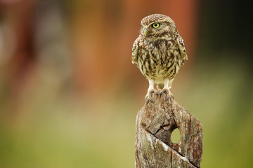 Fototapete - Little owl on an old post