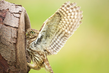 Poster - Little owl going into a hollow of a tree
