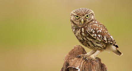 Poster Uil Little owl on an old post looking at the camera