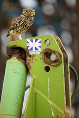 Fototapete - Little owl standing on some old farm machinery