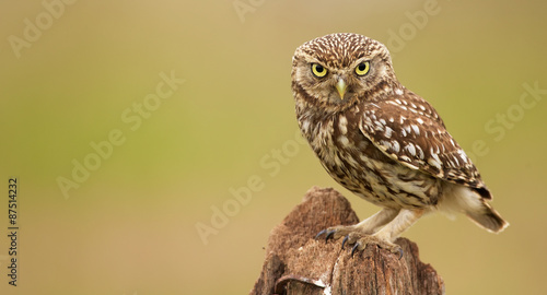 Wall mural Little owl on an old post looking at the camera