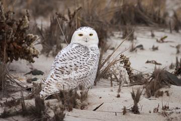 Snowy Owl standing on sandy beach.
