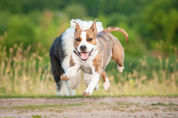 Happy american staffordshire terrier dog running away from bobtail puppy