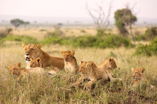 Little lion cubs relaxing