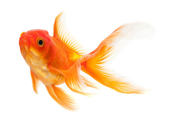 Goldfish isolated over white background