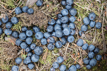 Blueberries dropped at forest floor