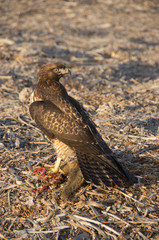 Cooper's Hawk eating a Ground Squirrel