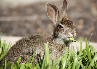 Closeup of cute cottontail bunny rabbit in the garden. Composition with animals