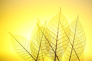 Foto op Canvas Decoratief nervenblad Skeleton leaves on yellow background, close up