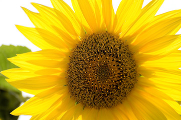Sunflower flower petals as the sun shines through