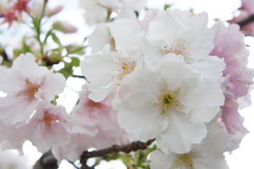 The beautiful cherry blossom and green leaf