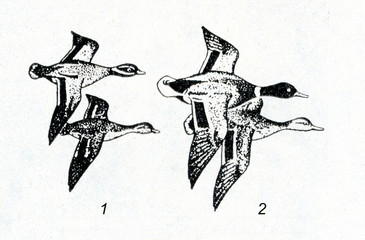 Eurasian teals (1) and mallards (2) in flight