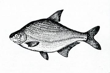 Common bream (Abramis brama)