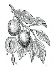 Plum (Prunus domestica, Victoria)