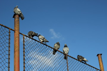 pigeons on fence