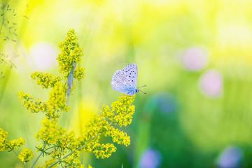 Blue Gossamer winged Butterfly in the evening sun