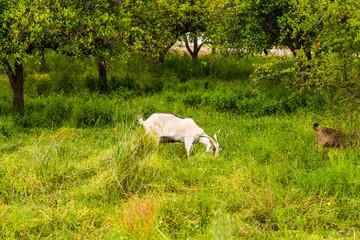 Sheeps in a meadow
