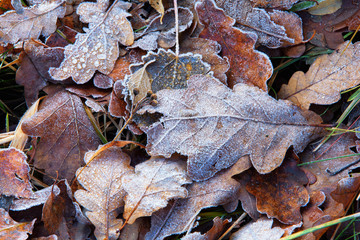 Oak leaves in early autumn frost
