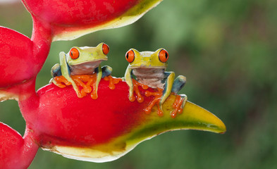 Foto op Canvas Kikker Two red-eyed tree frogs sitting on a heliconia flower