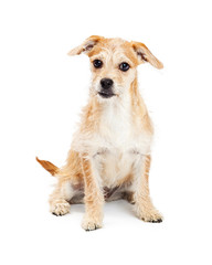 Cute Mixed Breed Terrier Puppy