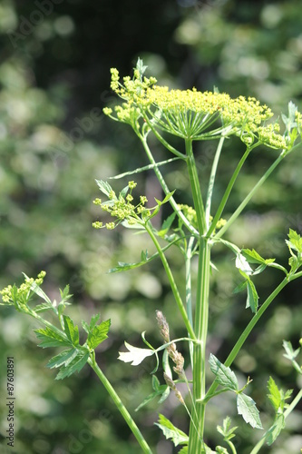 Yellow head and seeds of a wild parsnip weed in poisonous stage yellow head and seeds of a wild parsnip weed in poisonous stage growing in a conservation mightylinksfo