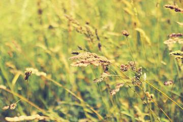 meadow, ears, summer background