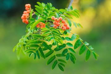 Red berries on rowan tree