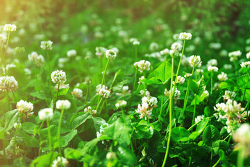 Thickets of blossoming clover