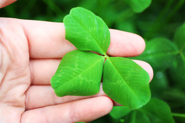 Clover leaves in female hand, closeup