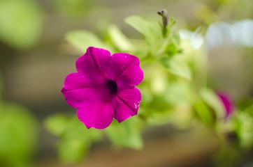 pink flower petunia