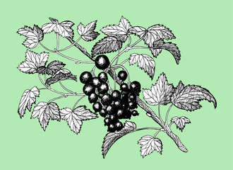Engraved illustration with black currant on green background.