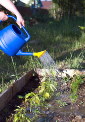 Female hand pours water from blue plastic watering plants in garden area