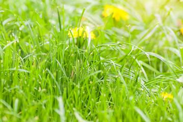 Green summer grass meadow with bright sunlight.