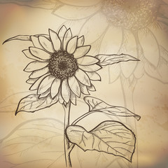 Sketch  sunflower background