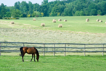 Horse Grazing in Pasture with Hay Field – An Arabian horse grazes in his pasture. Field of hay with round bales in the background.