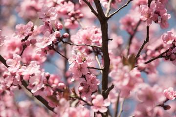Cherry tree flowers