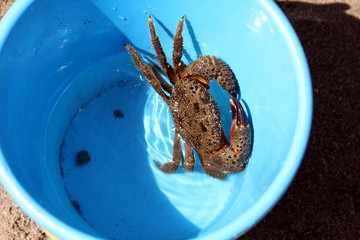 crab in a bucket