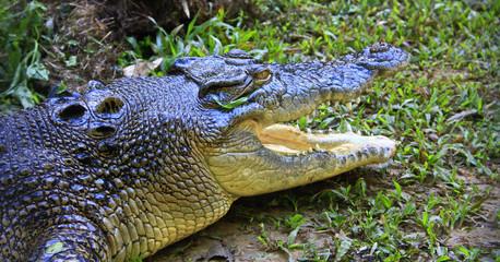 saltwater crocodile, Queensland, Australia