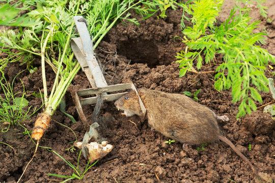 Trapped European water vole, Arvicola terrestris/amphibious