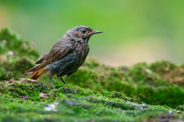 Wet black redstart