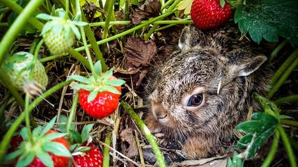 Grey hare among ripe strawberries