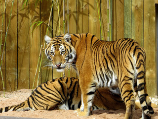Tigre frère et soeur couchés