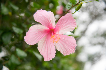 pink hibiscus flower wet rain after the rain had passed