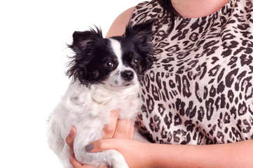 black and white accessories dog chihuahua with her owner