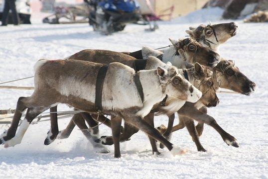 Arctic deers running on snow