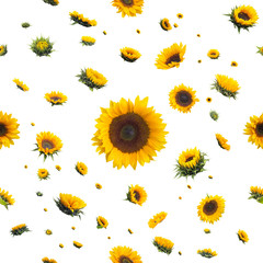repeatable, wet sunflowers, after the rain, pattern, isolated on absolute white