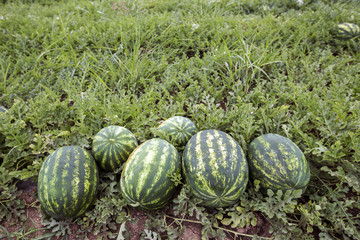 melon field with heaps of ripe watermelons in summer