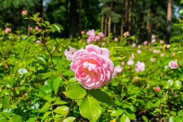 Pale pink rose in vivo.