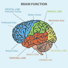 BRAIN FUNCTION DIAGRAM